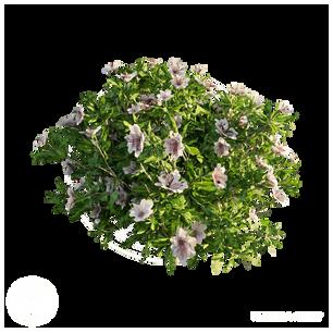 Azalea_Flowers_3.png