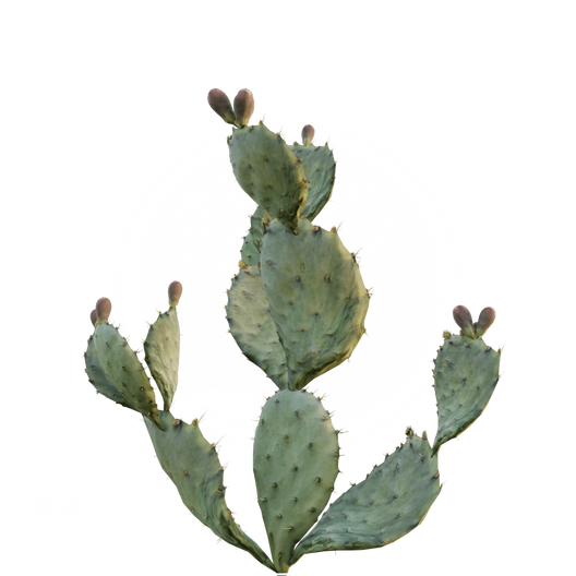 Prickly_Pear_Cactus_2.png