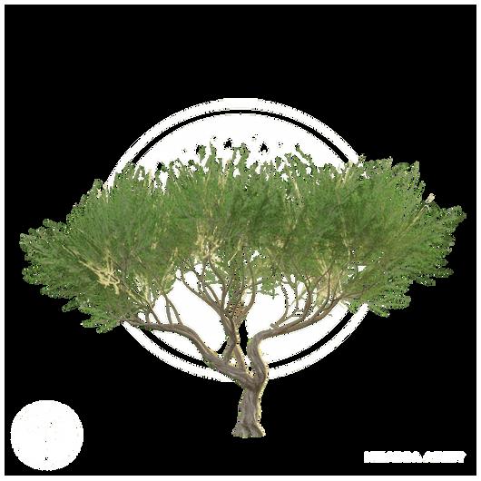 Acacia_tree_1.png