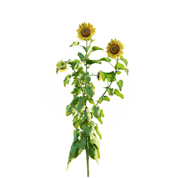 Sunflower_3.png