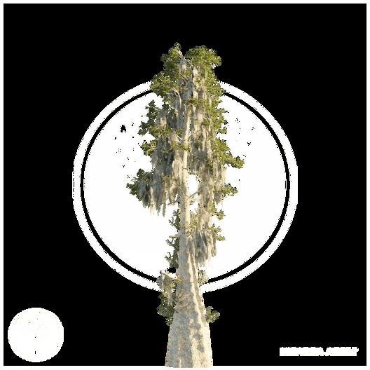 Bald_Cypress.png