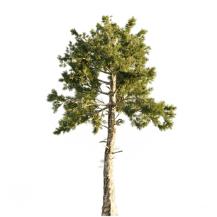 Loblolly_Pine_2.png