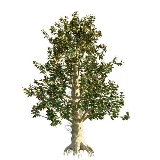 Southern_Magnolia_2.png