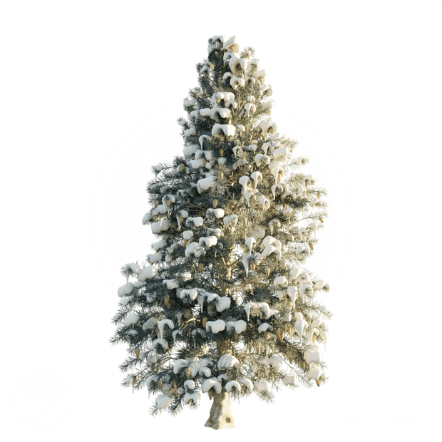 Blue_Spruce_winter.png