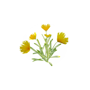 dandelion_4.png