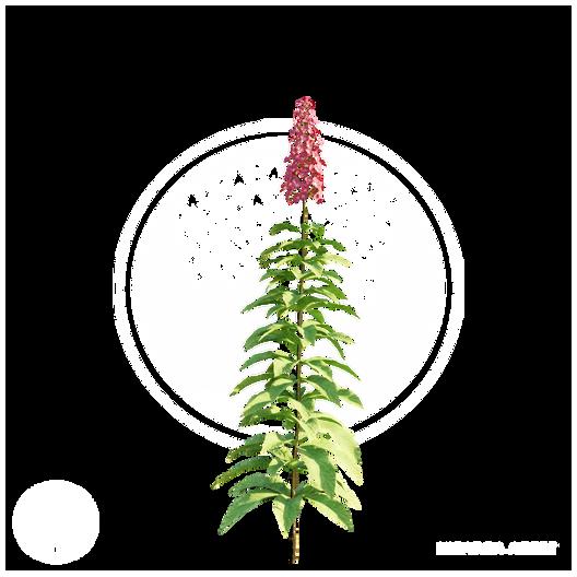 Hydrangea_Paniculata.png