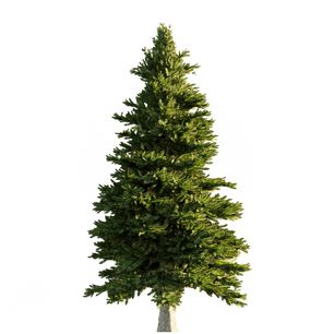 Norway_spruce_2.png