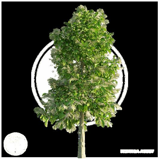 Sourwood_Tree_3.png