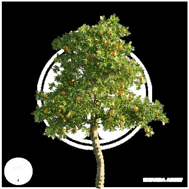 Orange_tree_1.png