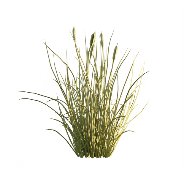 Cattail_2.png