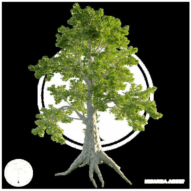 Sassafras_tree_1.png