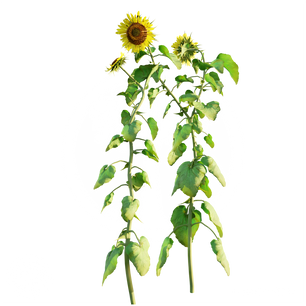 Sunflower_2.png