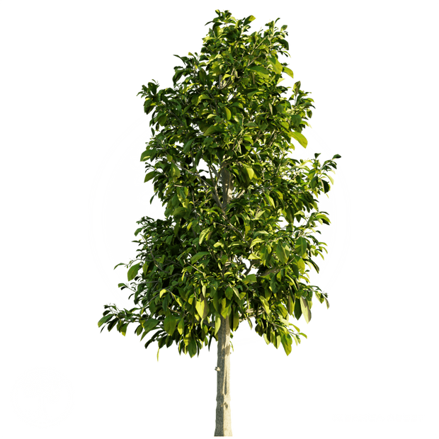 Sourwood_Tree_1.png