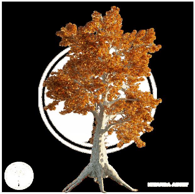 Sassafras_tree_Autumn_2.png