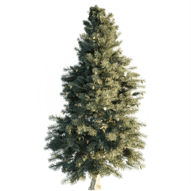 Blue_Spruce.png