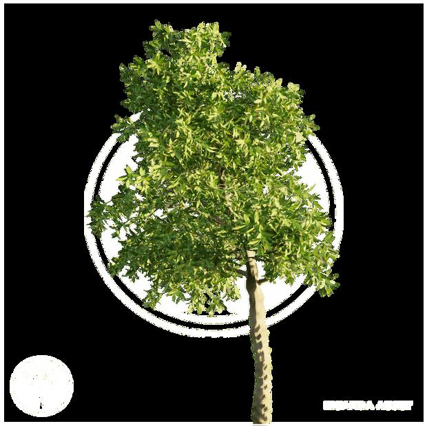 Orange_tree_5.png