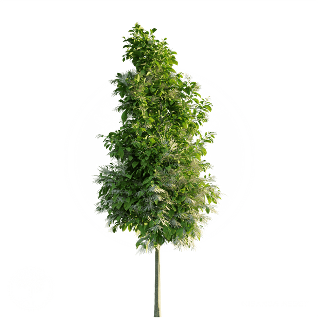 Sourwood_Tree_4.png