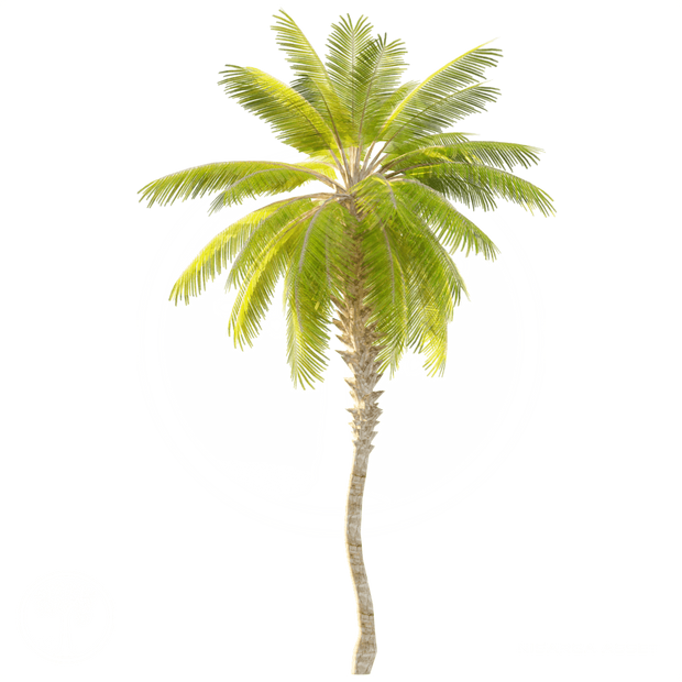 Date Palm_Tree_3.png