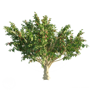 Common_Hawthorn_2.png