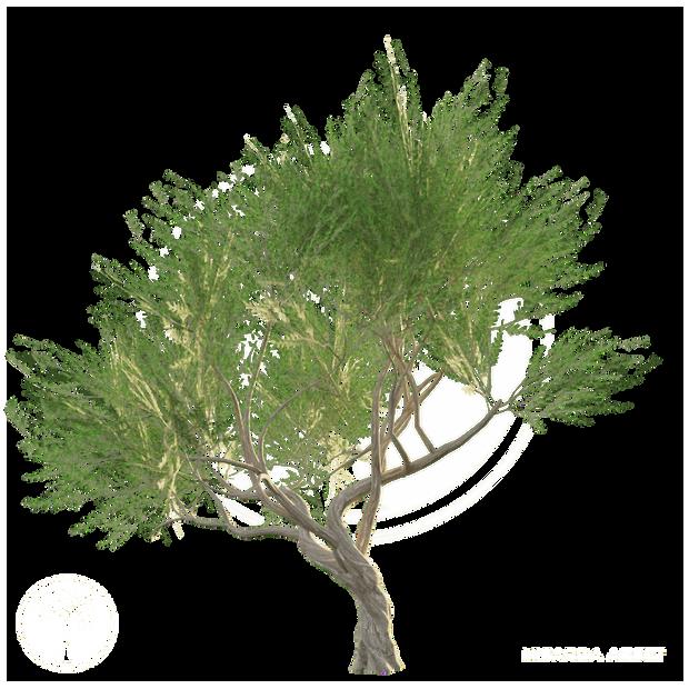 Acacia_tree_2.png