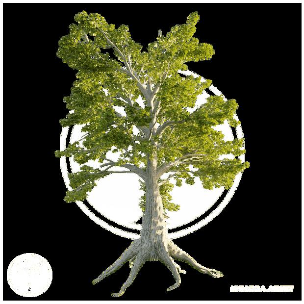 Sassafras_tree_2.png