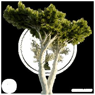 Monterey_Cypress_2.png