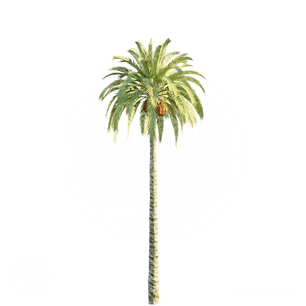 Date Palm_Tree_4.png