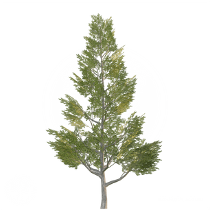 Spruce_tree_1.png