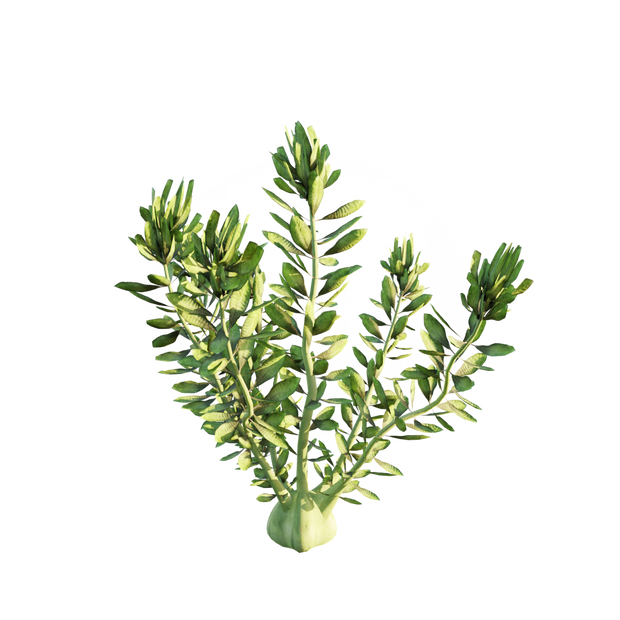 Hydrilla_1.png