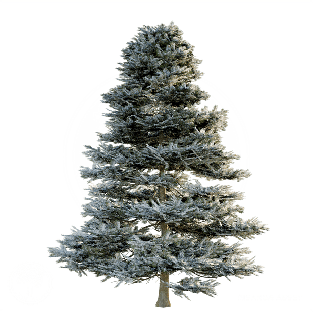 Pine_winter.png