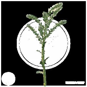 Virginia pepperweed.png