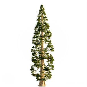 Giant_sequoia.png