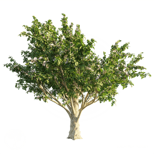 Common_Hawthorn.png