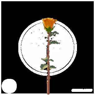 rose_2.png