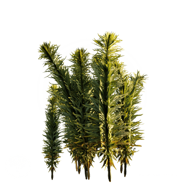 Horseweed_2.png