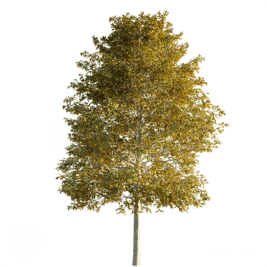 Shingle_Oak_Autumn_1.png