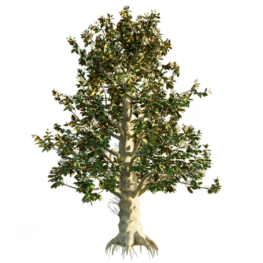 Southern_Magnolia_1.png