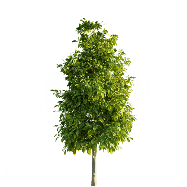 Sourwood_Tree_2.png