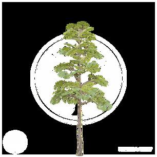 Pine_3.png