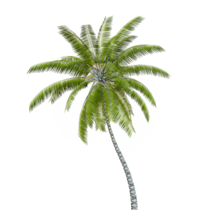 Coconut_palm_1.png
