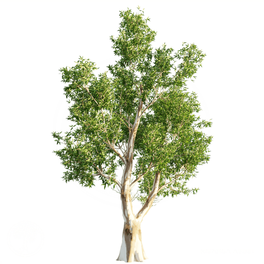 Red_Gum_tree_1.png