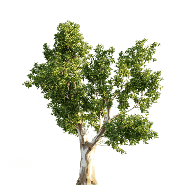 Red_Gum_tree_2.png