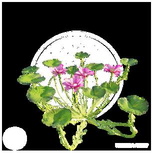 Lotus_Flower_1.png