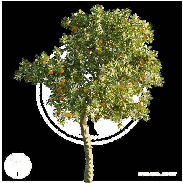 Orange_tree_3.png