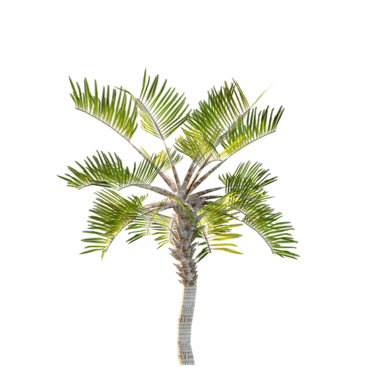 Curly_palm_1.png