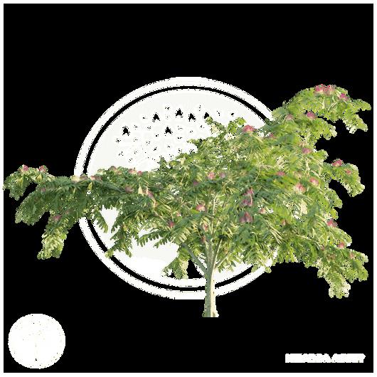 Persian_silk_tree_1.png
