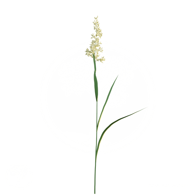 Reed canary grass.png