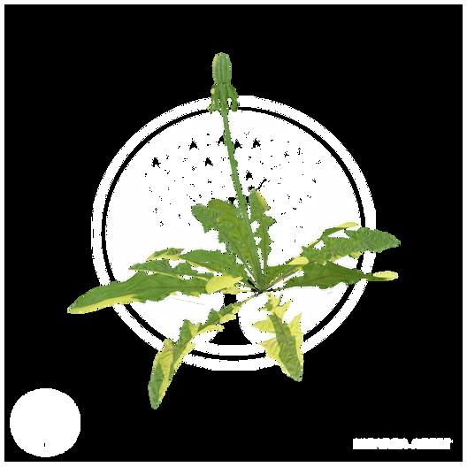 dandelion_2.png