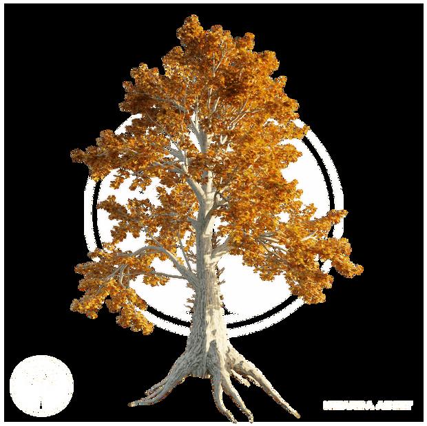 Sassafras_tree_Autumn_1.png
