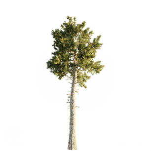 Loblolly_Pine_1.png